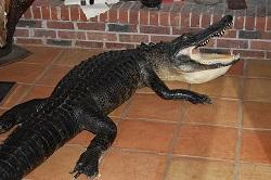 alligator gator taxidermy full mount