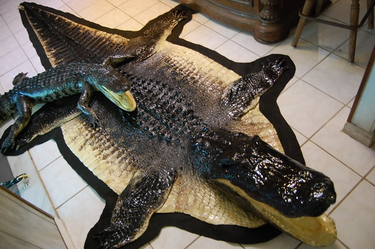 Click On The Pictures Below For A Larger View Alligator Gator Taxidermy Hornback Rug