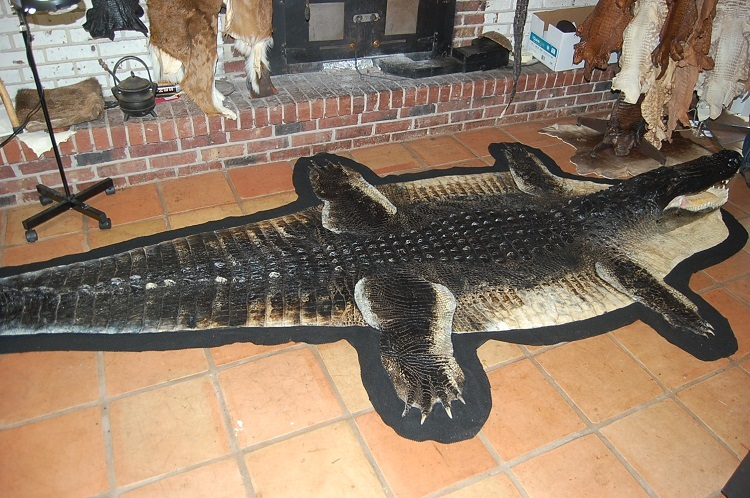 Alligator Taxidermy Trophy Mount Gator Hornback Rug Mounts